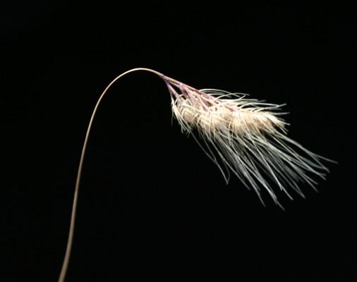 זנב-כלב עדין Cynosurus effusus Link