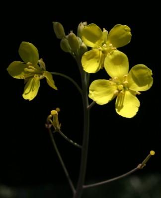 טוריים צרי-עלים Diplotaxis tenuifolia (L.) DC.
