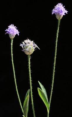 שלמון סורי Cephalaria syriaca (L.) Schrad.