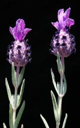 העלים תמימים, דמויי סרגל. התפרחות צפופות ומסתיימות בציצת חפים גדולים בהרבה מהפרחים שצבעם סגול כהה.