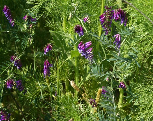 בקיה ארגמנית Vicia benghalensis L.