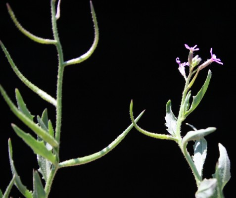 מלקולמייה אפריקנית Malcolmia africana (L.) R.Br.