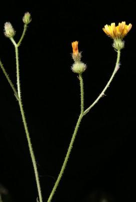 מררית מצויה Picris altissima Delile