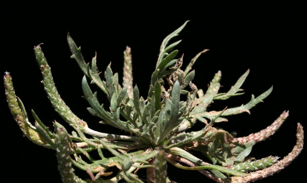 Plantago crypsoides Boiss.