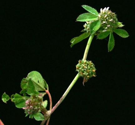 תלתן מגובב Trifolium glomeratum L.