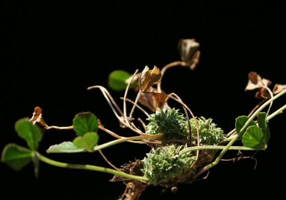 תלתן חנוק Trifolium suffocatum L.