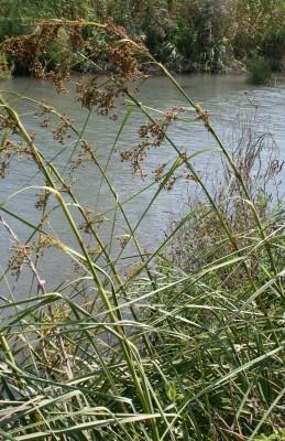 Cladium mariscus (L.) Pohl