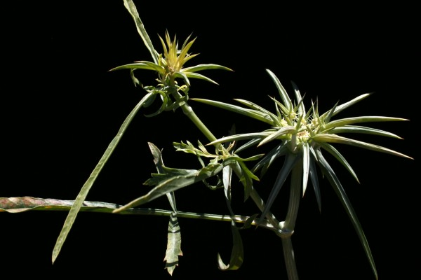 צנינה קוצנית Exoacantha heterophylla Labill.