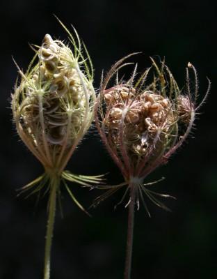 סלסילת הכרמל Tordylium cordatum (Jacq.) Poir.