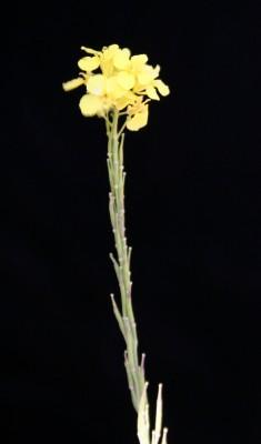 כרוב שחור Brassica nigra (L.) W.D.J.Koch