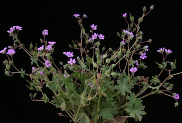 גרניון רך Geranium molle L.