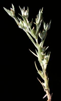 לוגפייה צרפתית Logfia gallica (L.) Coss. & Germ.