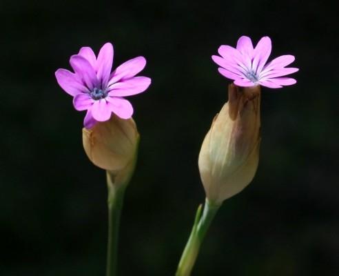 חלוק שעיר Petrorhagia dubia (Rafin.) G.Lopez & Romo