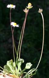 עשבים חד-שנתיים, גובהם 12-5 ס