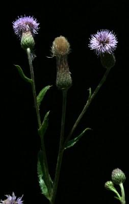 קוצן השדה Cirsium arvense (L.) Scop.