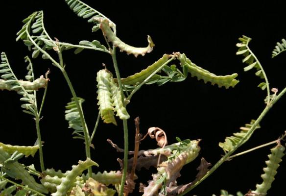 מסוריים מצויים Astragalus pelecinus (L.) Barneby