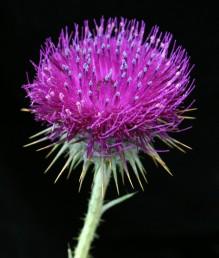 צבע הכותרת סגול כהה. צמחים הגדלים בעיקר על קרקעות בזלת ברום 1,000-300 מ'.