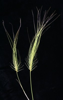 מלענת ארוכת-מלענים Taeniatherum caput-medusae (L.) Nevski