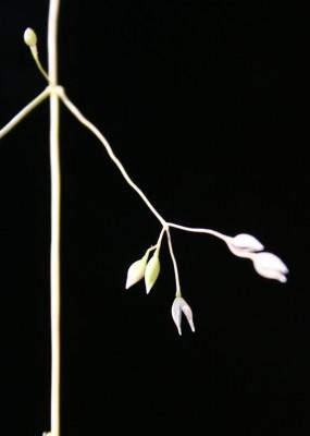 רפרף אביבי Milium vernale Bieb.