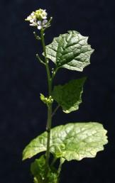 העלים והגבעולים הירוקים בעלי ריח המזכיר ריח של שום. צמחים נדירים של צפון הגולן.