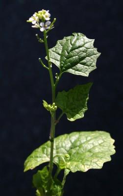 אליאריה שומית Alliaria petiolata (M.Bieb.) Cavara & Grande