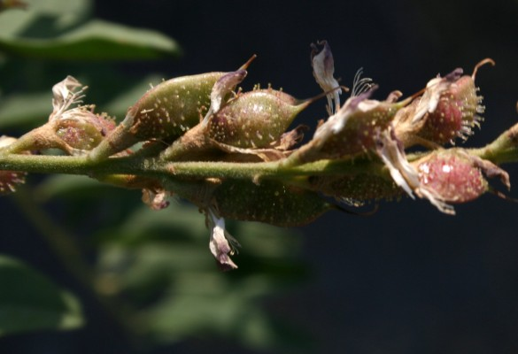 Glycyrrhiza glabra L.