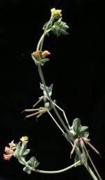 הכותרת צהובה, מאדימה מעט לאחר ההאבקה ונעשית כתומה. צמחים שעירים של ביצות וגדות נחלים.