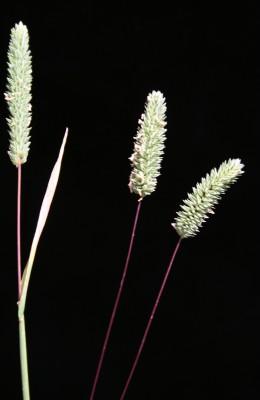 Phleum subulatum (Savi) Asch. & Graebn.