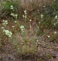 עשבים רב-שנתיים. העלים צרים, דמויי סרגל, רוחבם 5-2 מ