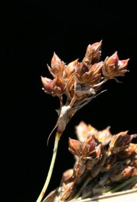 סמר חד Juncus acutus L.