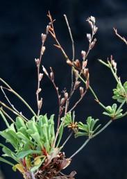 הפרחים מרוחקים זה מזה לאורך גבעולי התפרחת. אורך העלים עד 3 ס