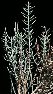 Haloxylon scoparium Pomel