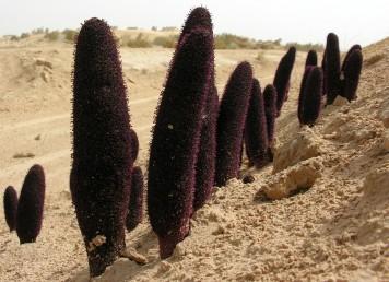 צמח טפיל הגדל לעיתים במקבצים