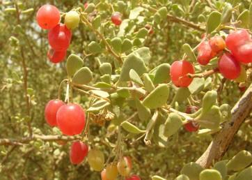 הפרי בית-גלעין דמוי ענבה עסיסית אדומה.