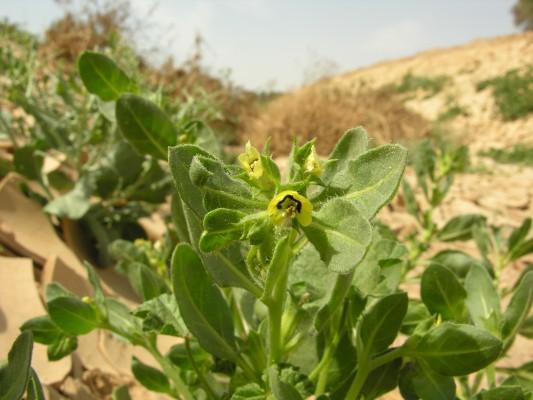 שיכרון פעוט Hyoscyamus pusillus L.