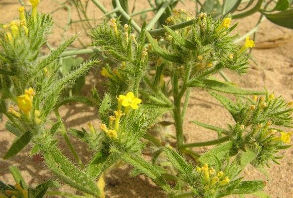 ארנבית זיפנית Arnebia hispidissima (Lehm.) DC.