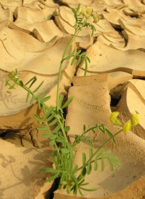 פרסה מקרינה Hippocrepis areolata Desv.