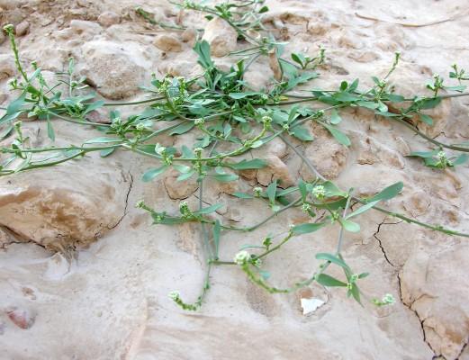 שחליים שרועים Lepidium aucheri Boiss.