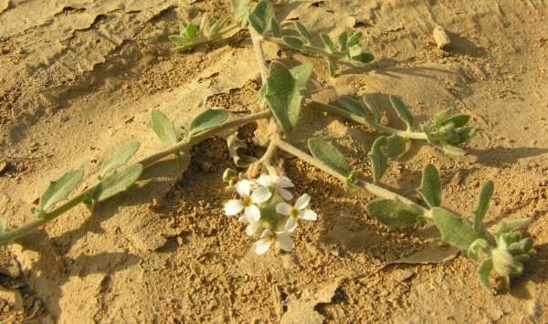 מורטיה מחוספסת Morettia philaeana (Delile) DC.