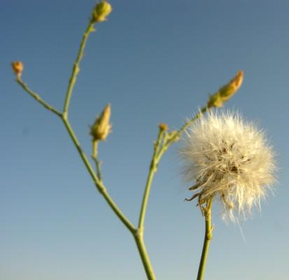 לוניאה מחודדת Launaea mucronata (Forssk.) Muschl.