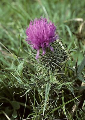 קוצן פשוט Cirsium vulgare (Savi) Tenore