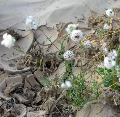 זרעזיף המדבר Lasiospermum brachyglossum DC.
