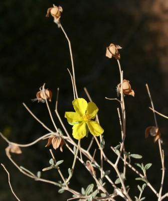 שמשון המדבר Helianthemum sancti-antonii Schweinf. ex Boiss.