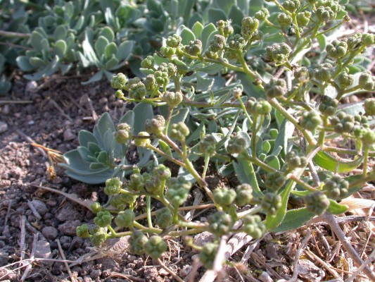 פיגמית מצויה Haplophyllum buxbaumii (Poir.) G.Don f.