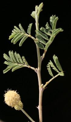 Acacia pachyceras O. Schwartz