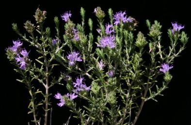 העלים דמויי סרגל, אשונים; דורי הפרחים צבורים לקרקפות. צבע הכותרת ורוד-אגמני. בעלי ריח תימול (זעתר).