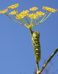 זחלי זנב-סנונית מתפתחים על צמחי משפחת הסוככיים בכל היבשות