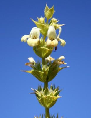 ברזילון ענף Sideritis pullulans Vent.