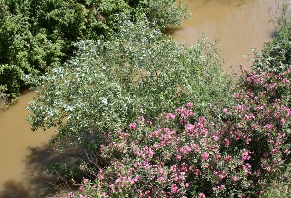 Salix acmophylla Boiss.