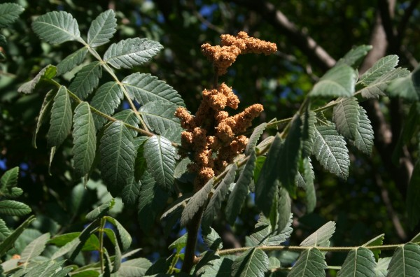 אוג הבורסקאים Rhus coriaria L.